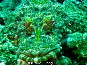 Crocodilefish Anilao, the Philippines by Mickle Huang