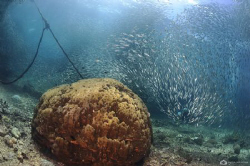 A huge shoal of sardines trying to escape large hungry ja... by Nadya Kulagina