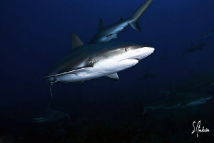 Reef Sharks at Ginormous Reef - lots of them and a couple... by Steven Anderson