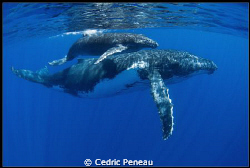 humpback whale and its calf by Cedric Peneau