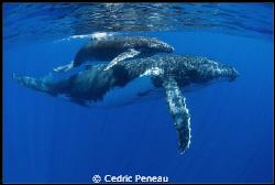 humpback whale and its calf by Cedric Peneau