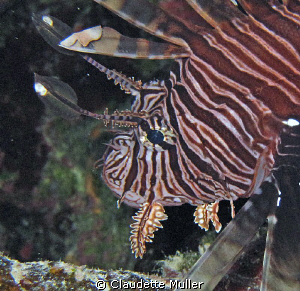 """You want a piece of ME?!!"". Lionfish in Belize - NOT ind... by Claudette Muller"