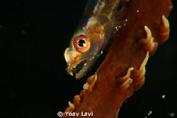 small wire coral goby