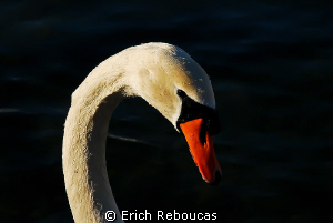 White Swan at Lake Geneva (where actually people dive :) ) by Erich Reboucas