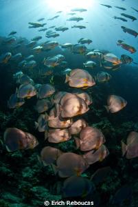 "Batfish at ""the pinnacle"", Shark Reef by Erich Reboucas"