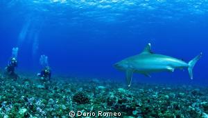""""""" THREATENED """" Rangiroa, Avatoru pass, Angry Silver Shark by Dario Romeo"""