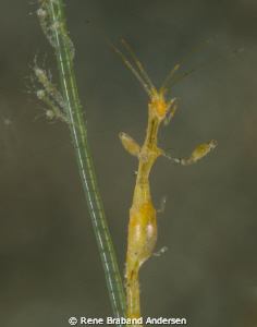 Skeleton shrimp family by Rene Braband Andersen