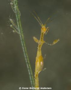 Skeleton shrimp family by Rene Braband Andersen