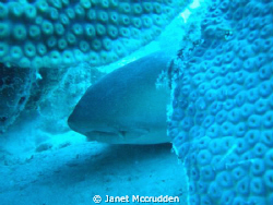 Sleeping nurse shark by Janet Mccrudden