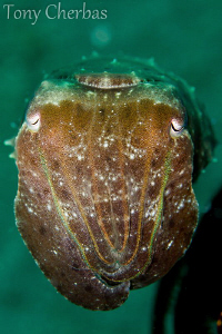Cuttlefish Profile by Tony Cherbas