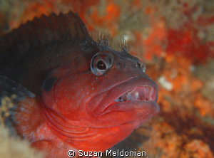 Afterburn A Hairy Blenny with a tell-tale sign of Firewo... by Suzan Meldonian