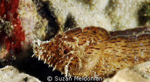 Crested Pipefish with a sea spider crawling on its face. ... by Suzan Meldonian