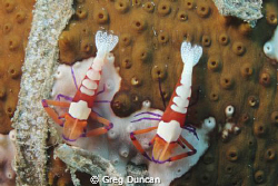 Two Imperial shrimp on a sea cucumber. Taken at Dan's San... by Greg Duncan
