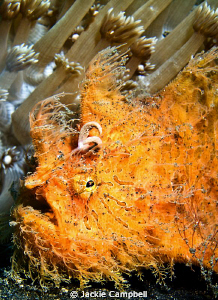 Hairy Orange Why do frogfish always look so guilty ? by Jackie Campbell