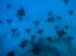 Bora Bora, French Polynesia. Eagle Rays in channel at 90 ... by Christopher Ward