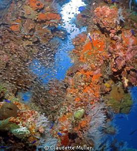 Beatiful coral scene on the Hoki Maru in Truk Lagoon. by Claudette Muller