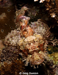 Bearded Scorpion fish, Adara wall night dive on Atauro Is... by Greg Duncan