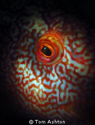 The eye of a ballan wrasse, lit with a snoot.