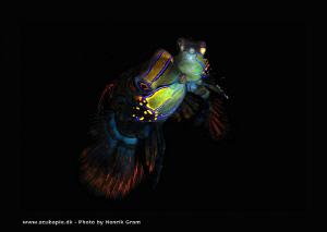 Mating Manderinefish by Henrik Gram Rasmussen