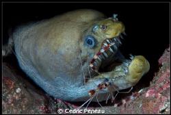 viper moray and boxer shrimp by Cedric Peneau
