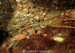 crab by Ladislav Nogacek