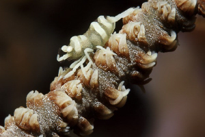 SHRIMP Zanzibar Shrimp on Spiral Coral - Dasycaris zanzi... by Jörg Menge