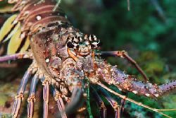 Spiny Lobster. by Jacques Miller