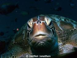 Tortue verte- Green sea turtle -  Chelonia mydas This s... by Giafferi Jonathan