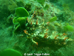 Two Nudibranch's mating, Found these two at the end of th... by Liam Triggs-Fulton