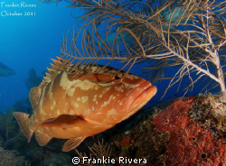 Nassau Grouper, by Frankie Rivera