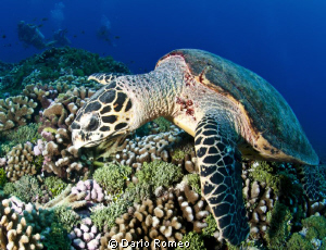 Seaturtle resting on the reef by Dario Romeo