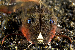 Stingfish (subfamily Minoinae).  ID by Suzan :) by Richard Witmer
