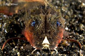 Stingfish (subfamily Minoinae).  ID by Suzan :) by Richard Witmer