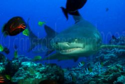 Bora Bora, French Polynesia. 8' lemon shark, pilot fish. ... by Christopher Ward