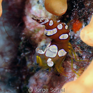 Squat shrimp with its flamenco dancing dress... by Jorge Sorial