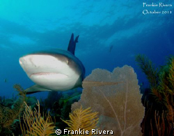 Caribbean Reef Shark on the Hunt by Frankie Rivera