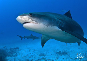 This particular Tiger Shark tries to show her best side. ... by Steven Anderson