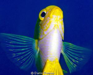 Chrysiptera starcki, Damsel in shallow water, pics was ta... by Dario Romeo