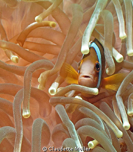"I can never get enough of these ""clownfish"". They are so ... by Claudette Muller"