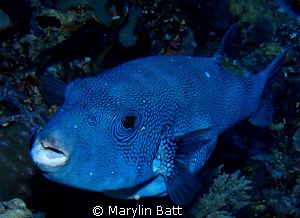 Beautiful blue puffer by Marylin Batt