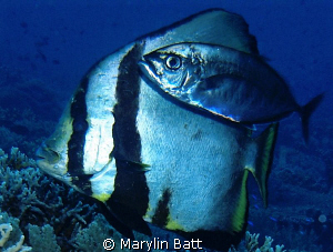 Bat fish with it's friendly Bar Jack. by Marylin Batt