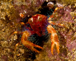 """The Freaks Come Out At Night"": Olivar's Squat Lobster by Tony Cherbas"