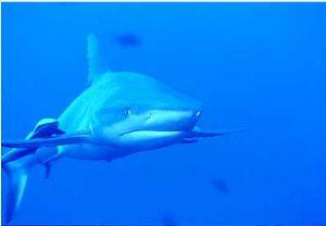 Blue Corner, Palau Nikon 8008 w/ 105mm  by David Weiss