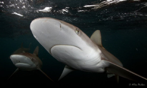 2 Dusky sharks popping in for a close visit. by Allen Walker