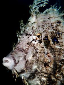Leafy Filefish. Tulamben, Indonesia by Stephen Holinski
