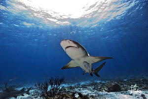 The light of the sun beams lead this Lemon Shark to our b... by Steven Anderson