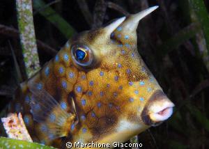 Cow fish Nikon D200, 60 micro, twin strobo Dumaguete 2011 by Marchione Giacomo