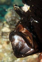 Hungry Frogfish by Elizabeth Ehrlich