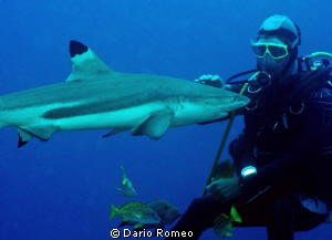 "Shark , Black Tip ""dog shark"" it is caressed by a diver by Dario Romeo"