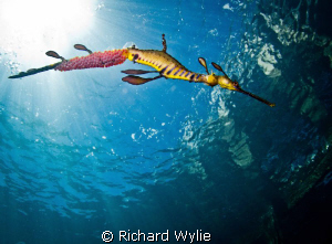 Just for a different angle on most of the weedy seadragon... by Richard Wylie